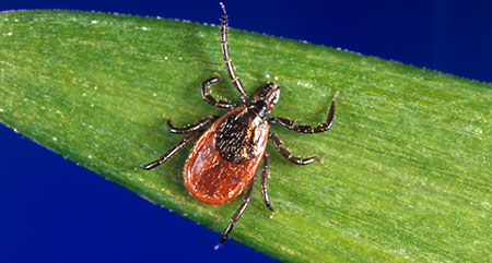 Blacklegged Tick Link